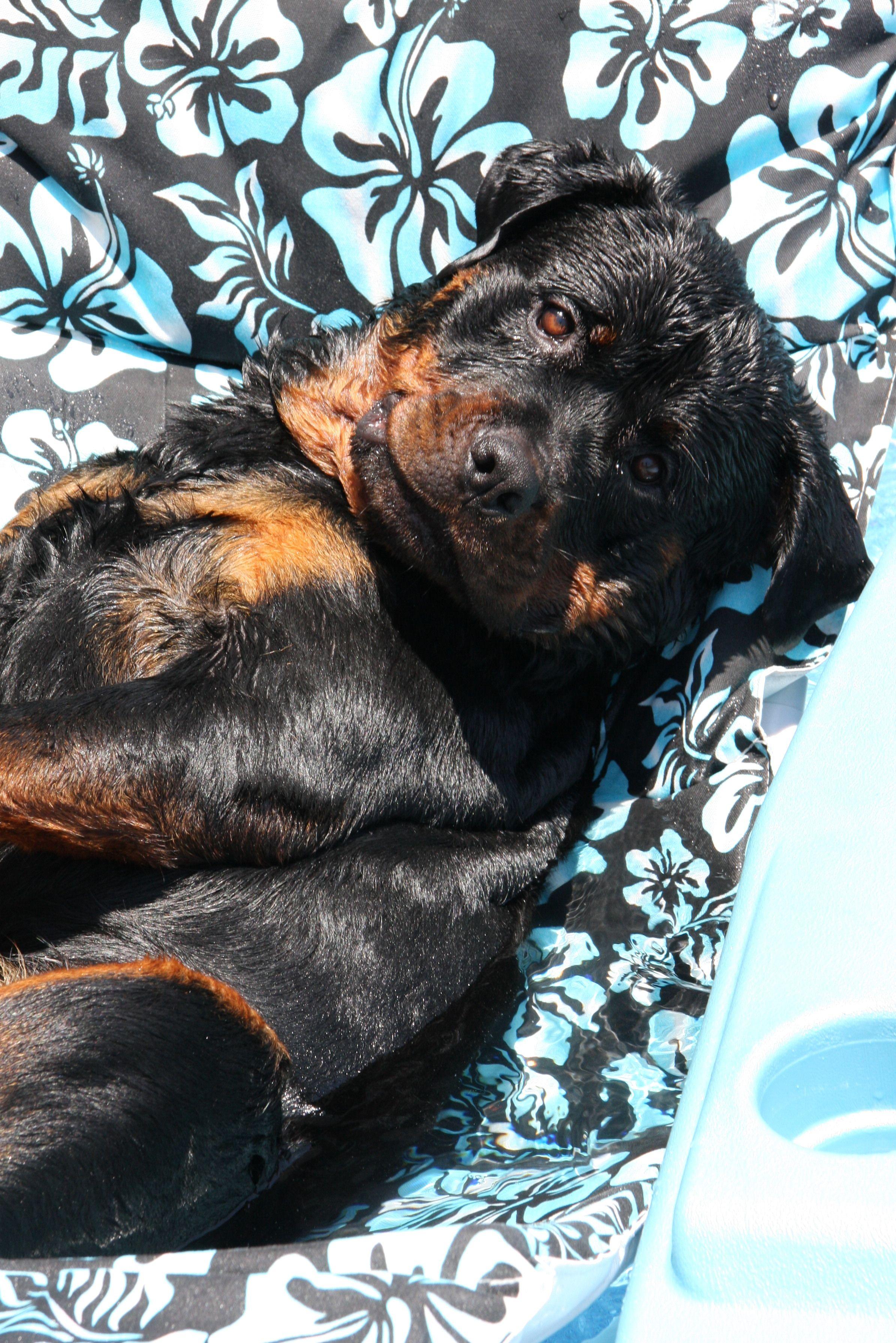 Rotten Rottweiler dog, Beautiful