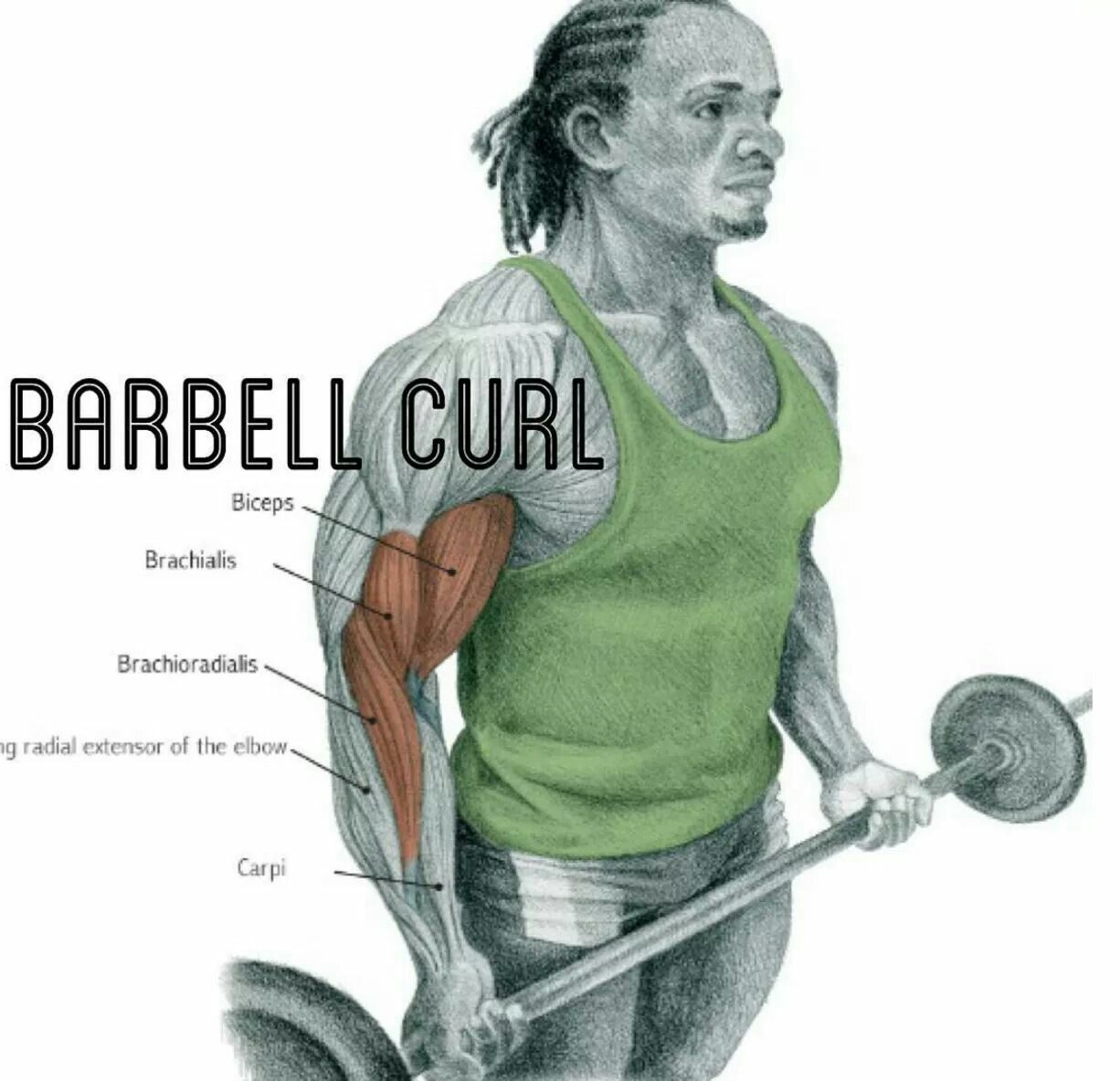 Pin by Janelle Asher on BEAST MODE Barbell curl, Biceps