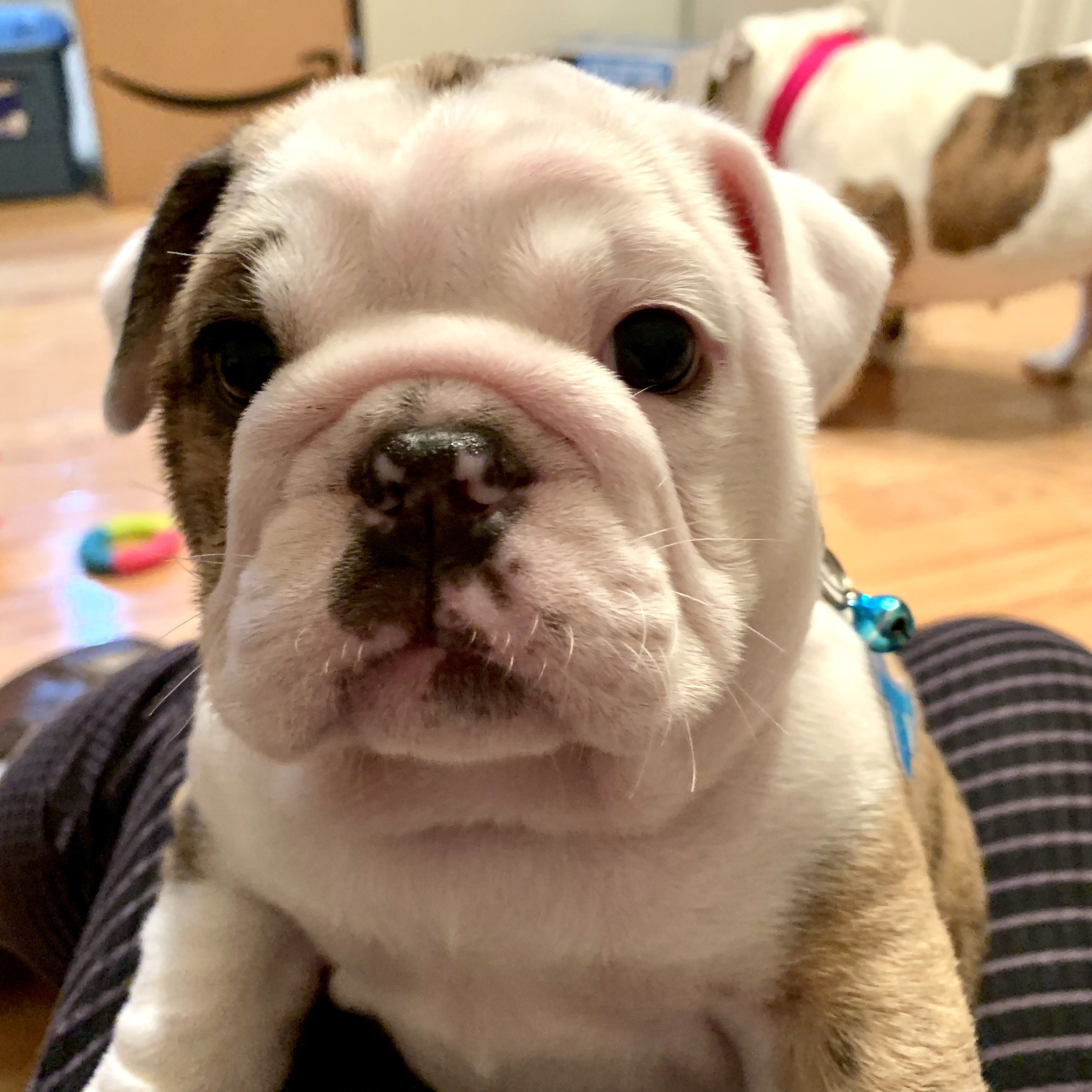 Continent Old English Bulldog Puppy For Sale In Huntersville