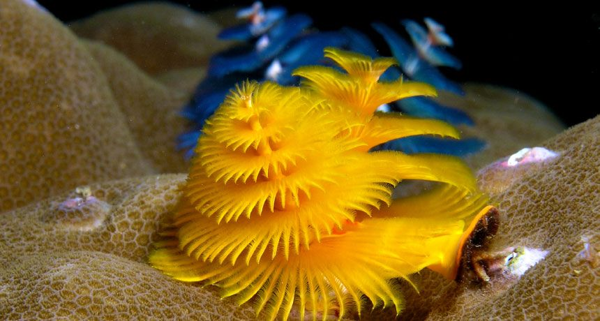 Christmas Tree Worms Have Eyes That Breathe Gills That See Ocean Creatures Underwater Creatures Sea Creatures