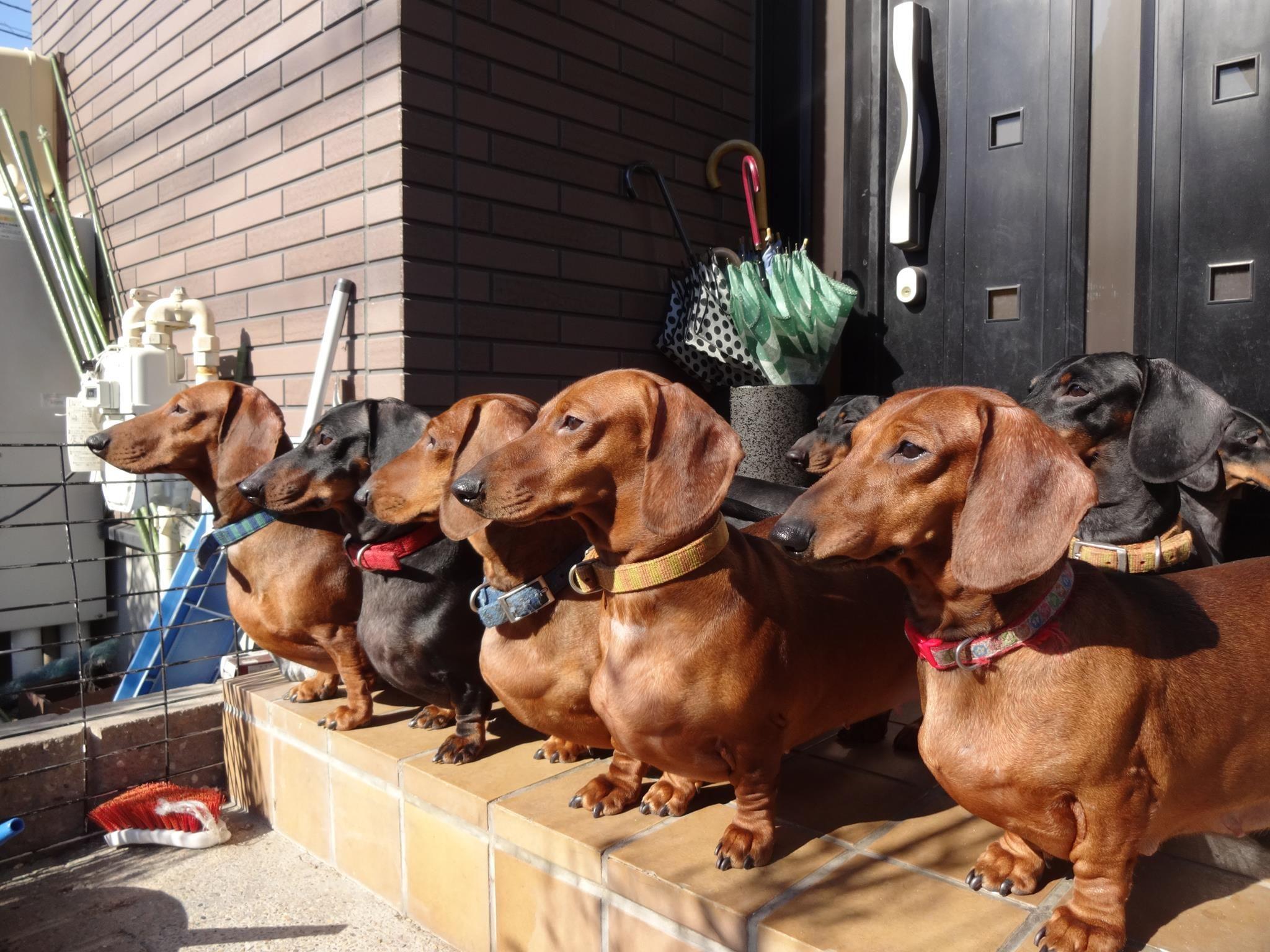 The Welcome Waggin Dachshund Weenie Dogs Dachshund Puppies
