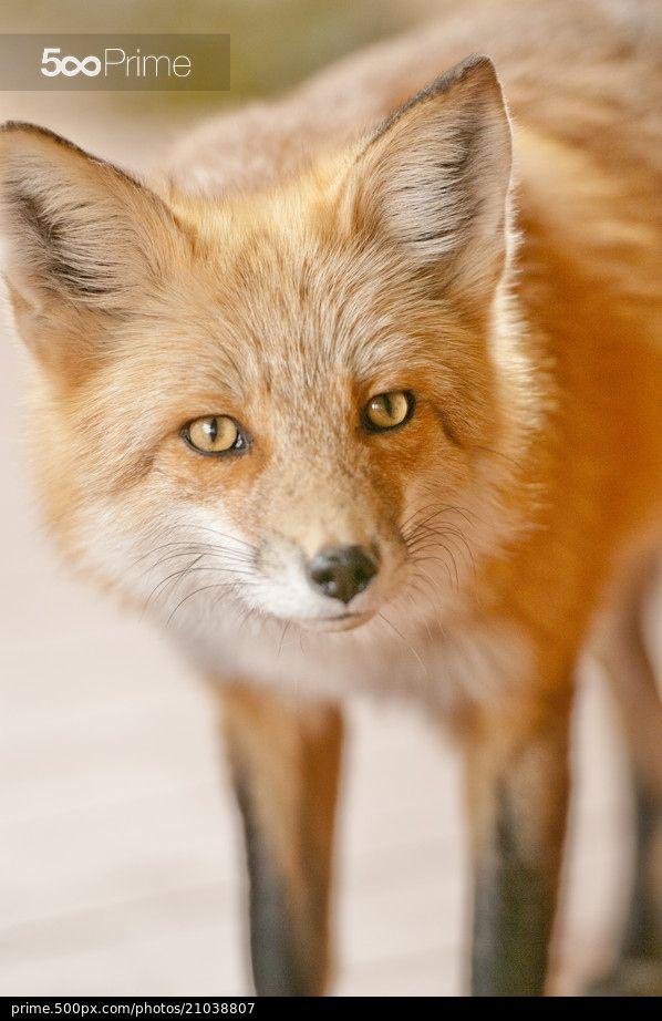 Red Fox 001 - stock photo