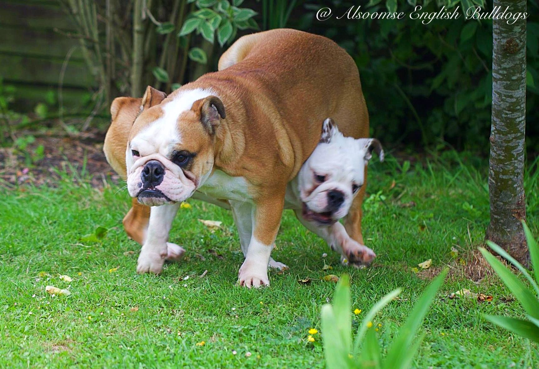 Alsoomse English Bulldogs Bulldog English Bulldog Dogs And Puppies