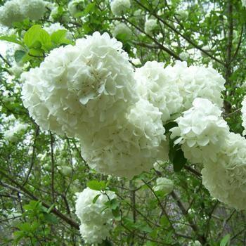 Snowball Bush Plants Blueberry Bushes Fast Growing