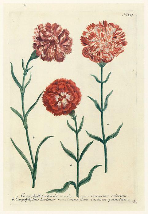 Caryophylli hortensis maxi mus variorum colorum