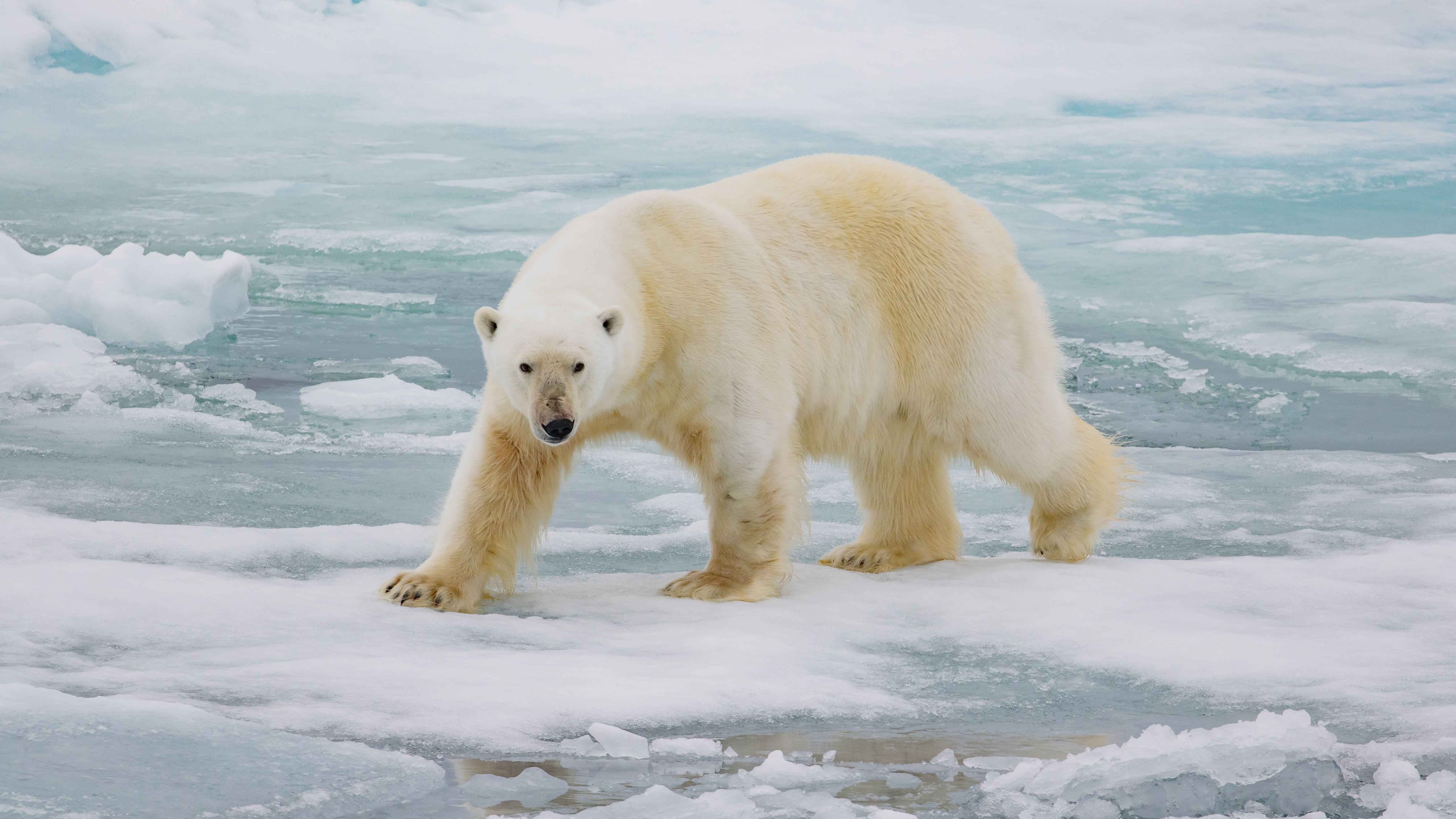 The Polar Bear King Of The Arctic Food Chain Polar Bear Polar Bear
