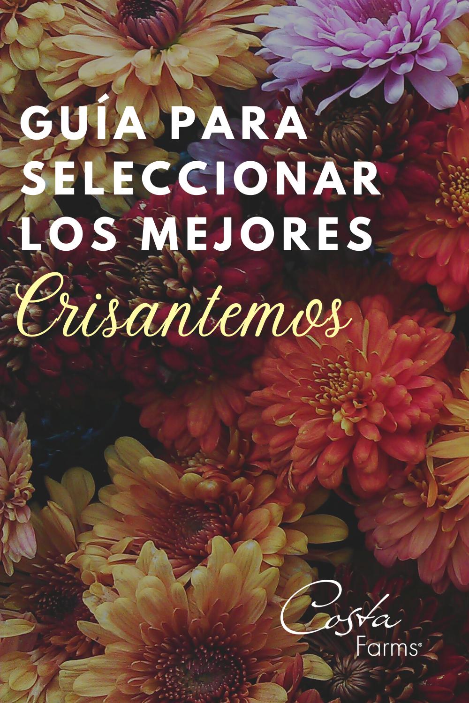 Guia Para Seleccionar Los Mejores Crisantemos In 2020 Plants Movie Posters Poster