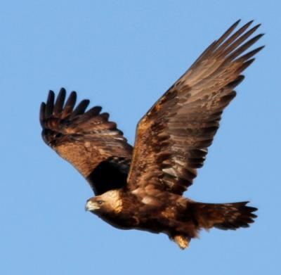 Golden Eagle at Chico Basin Ranch, Colorado. *Photo by Bill Maynard #ChicoBasinRanch