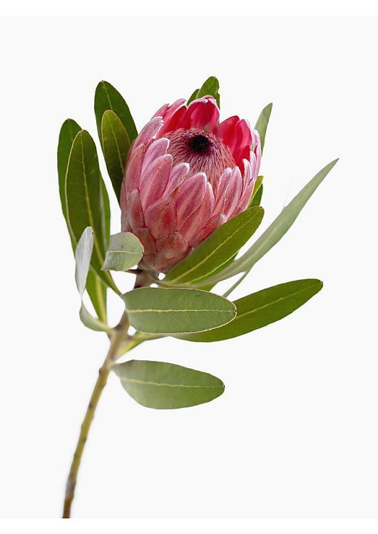 Print Of Protea Neriifolia X Susannae Pink Ice In 2020 Protea Flower Flower Photos Flower Images