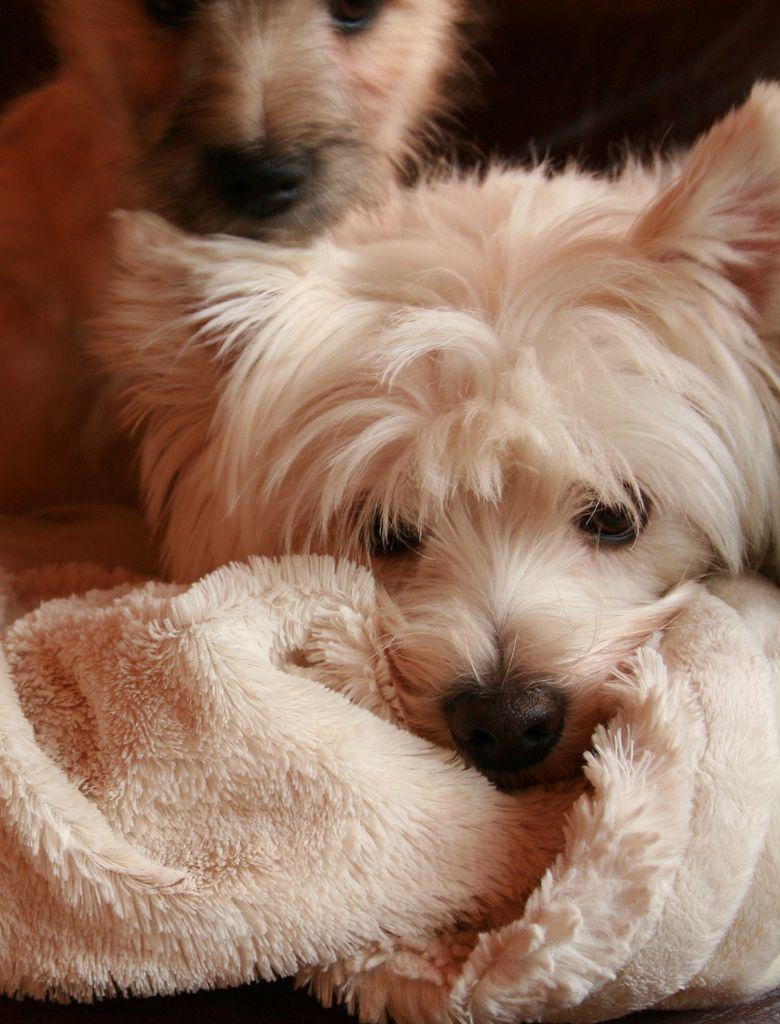 Untitled Westie puppies, Norwich terrier, Puppies