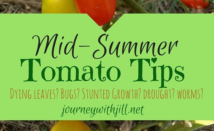 Mid-Summer Tomato Tips