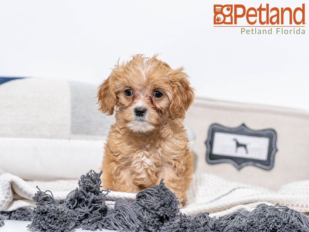 Petland Florida has Cavapoo puppies for sale! Check out