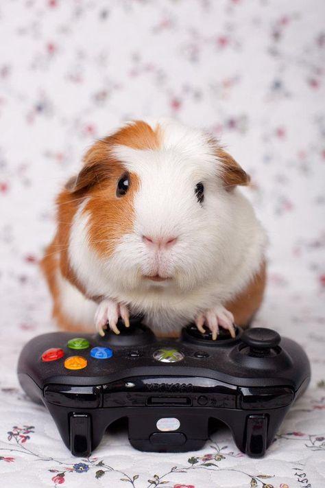 Cochon d 39 inde qui joue aux jeux vid os cochon d 39 inde - Jeux d animaux trop mignon ...