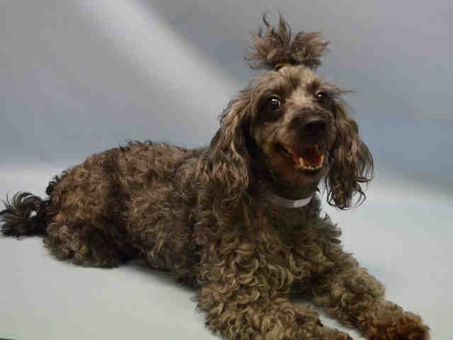 Sara Lee A1043803 Female Black Silver Poodle Toy Mix 6 Yrs