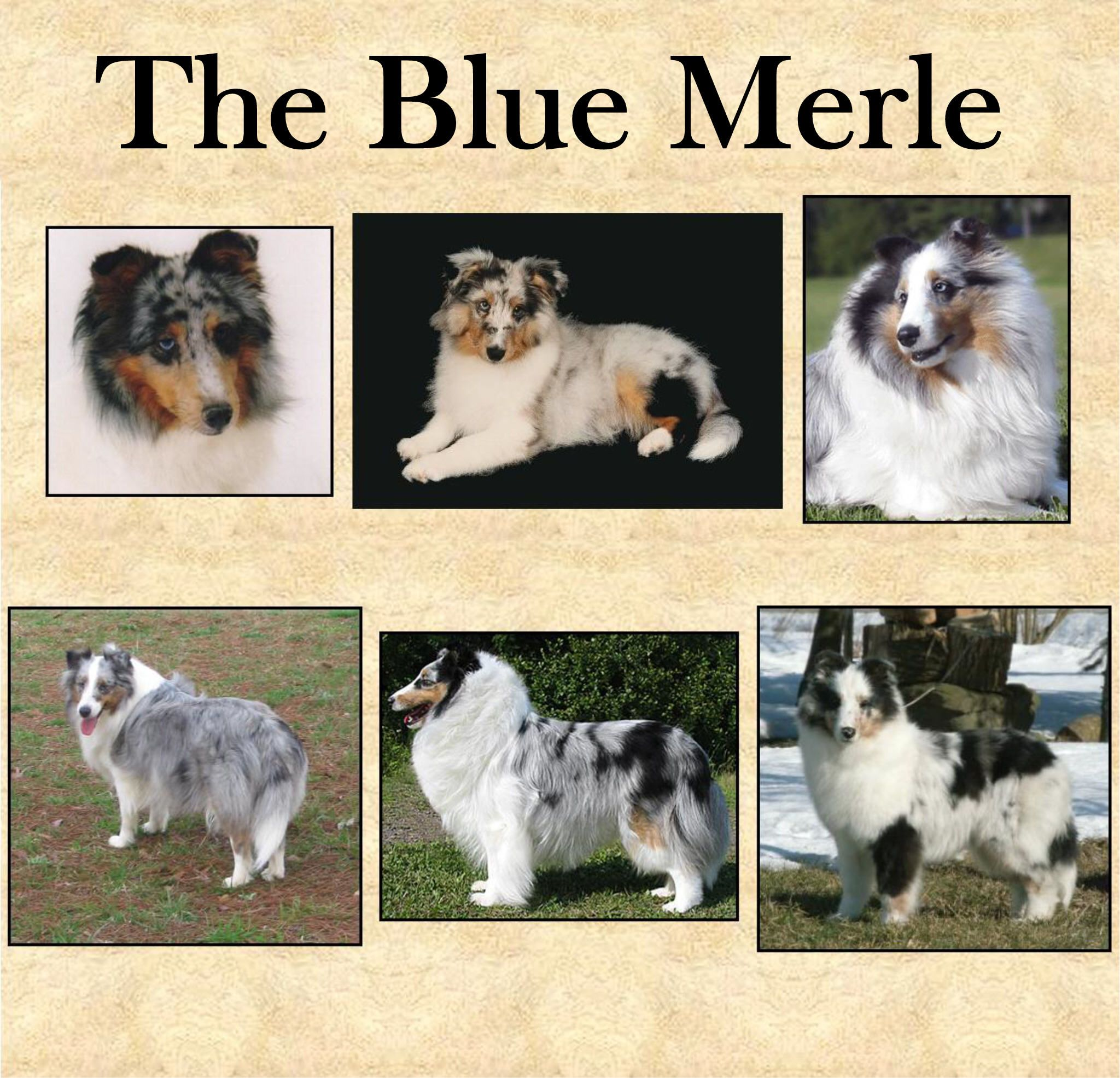 I Would Love To Get A Sheltie There Are So Many Different Color