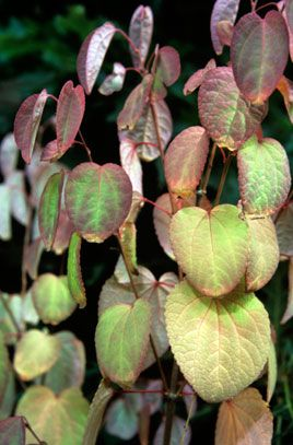 Cercidiphyllum japonicum 'Heronswood Globe' | /RHS Gardening