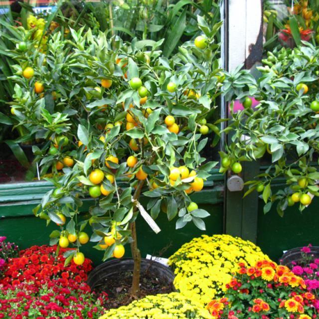 How To Grow A Beautiful Meyer Lemon Tree In Pot