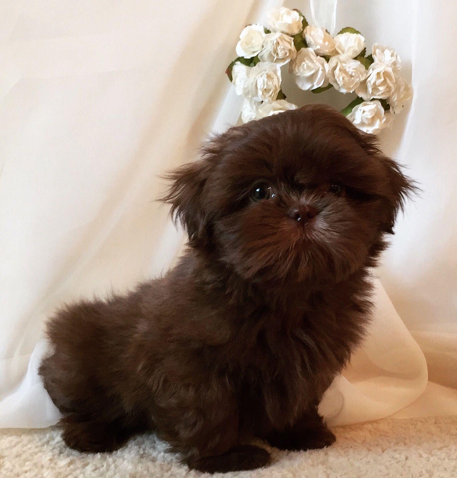 Shih Tzu Affectionate And Playful Shih Tzu Dog Puppies
