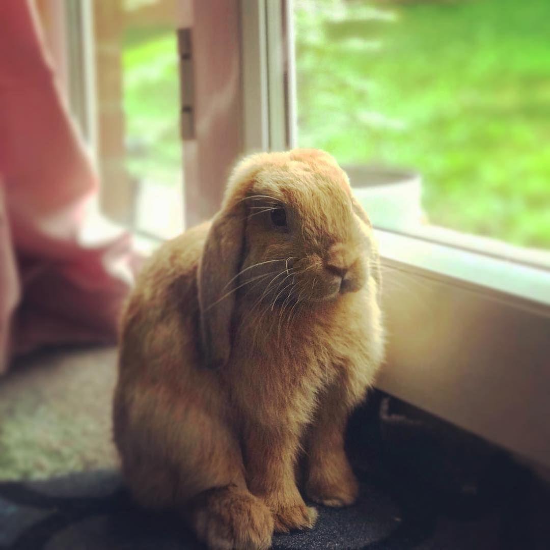 Enjoying The Views Minilop Rabbit Bunny Brothers Pet