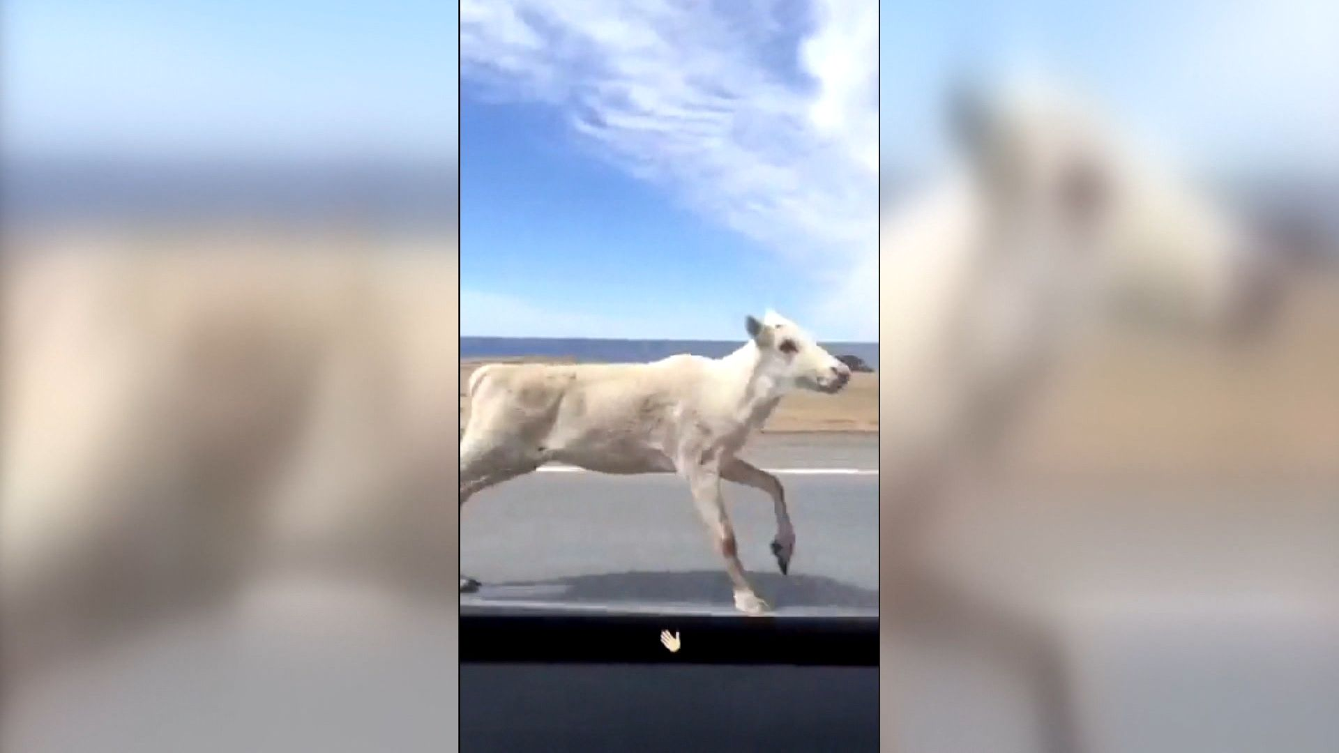 Caribou Tries To Keep Up With Vehicle In Gros Morne Cbc News Newfoundland Caribou Newfoundland And Labrador