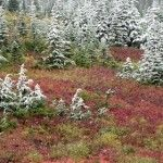 Winter Garden with Heather and Evergreens covered by snow
