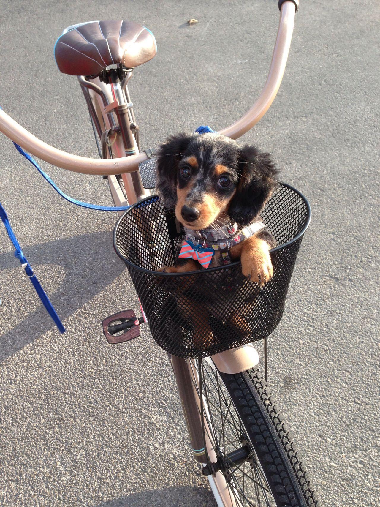 Doxie In A Basket So Sweet Dachshund Dachshund Love