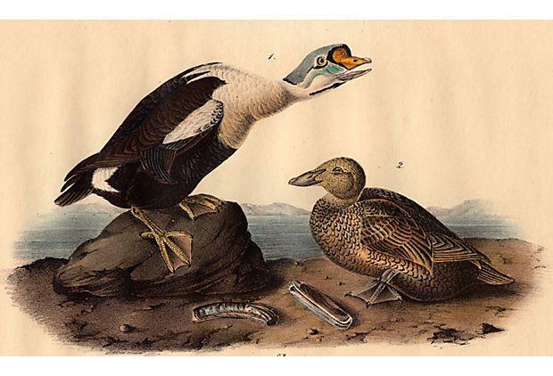Vintage Audubon Duck Print
