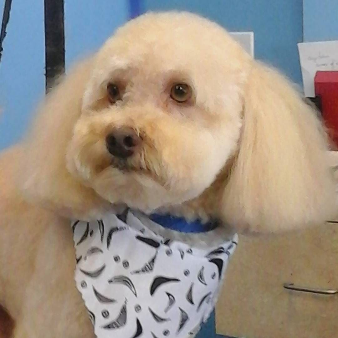 Benson #tucsondoggrooming #wagsmytail A well groomed dog is a well loved dog! Call us today to schedule your dog grooming appointment 520-744-7040