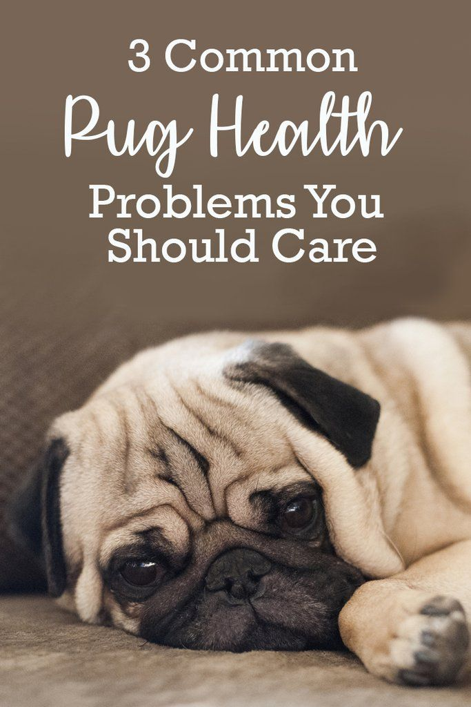 3 Common Pug Health Problems You Should Care Pug Health Problems