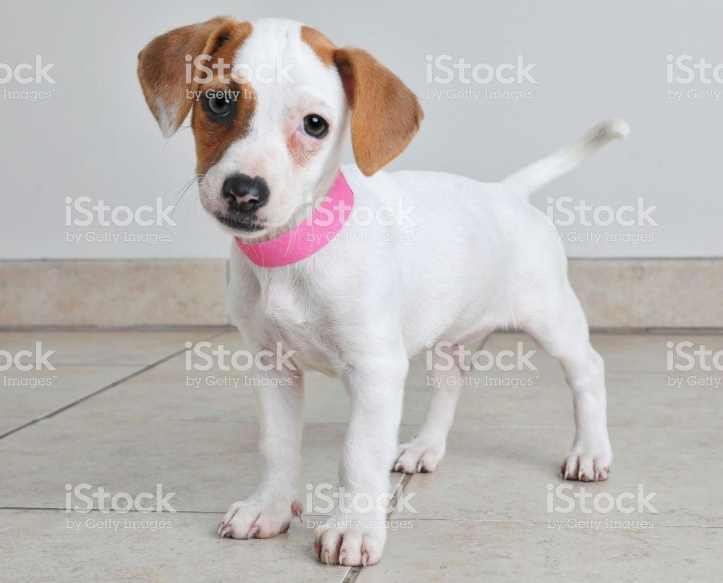 Welpen Im Tierheim Jack Russel Terrier Und Basenji Mischling Dog For Adoption Mia A Basenji Mix In Washington Dc Stock Photo In 2020 Dogs Dog Adoption Pet Adoption