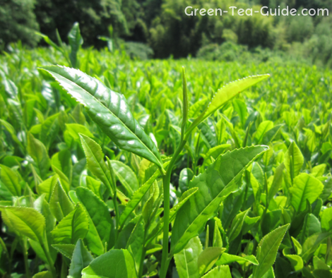 Beautiful Tea Leaves In Shizuoka Japan Green Tea Uses Tea Farm Best Green Tea