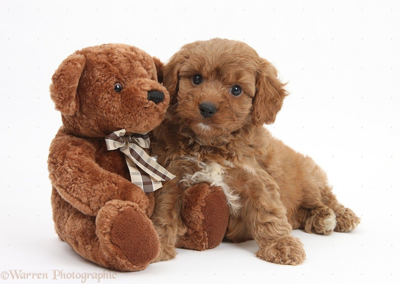Dog Cavapoo Pup 6 Weeks Old And Soft Teddy Bear Photo Wp25375