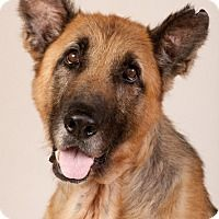 Adopt A Pet Splinter Chicago Il German Shepherd Dogs Dog Adoption Shepherd Dog