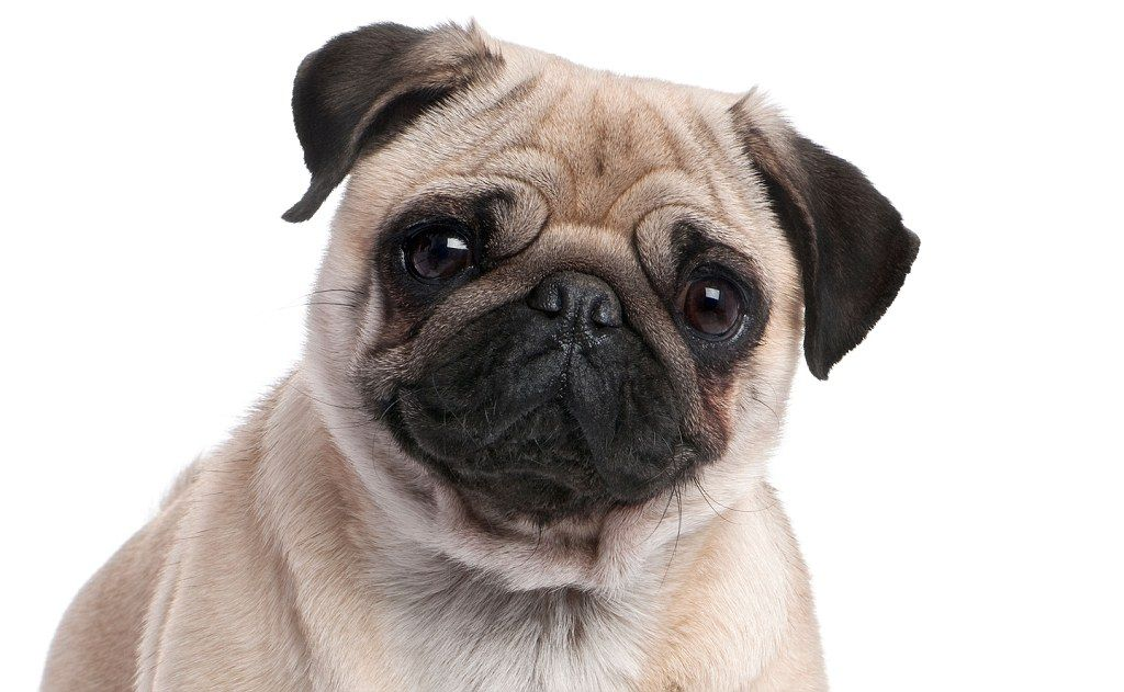 Leading Vet Calls For Pugs And Bulldogs Ban Because The Pedigree