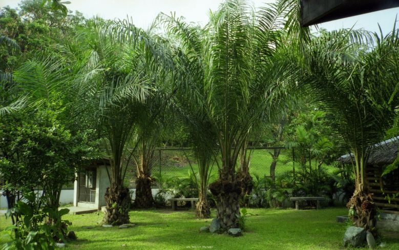 Different Types Of Palm Trees In Texas Palm Tree Tree Of Life Tree Palm Trees Pool Landscaping