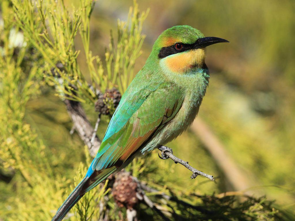 Emuwren Australian Fauna Australian Birds Small Birds
