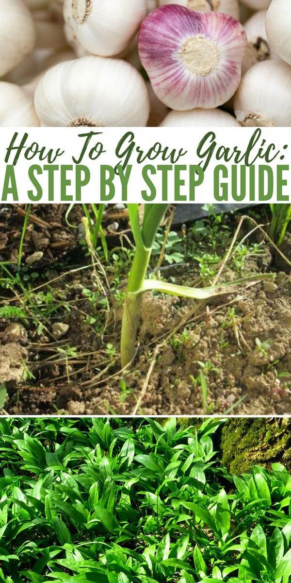 How To Grow Garlic A Step by Step Guide howtogrowagarden