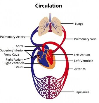 I used this review activity to ensure my 5th grade students i used this review activity to ensure my 5th grade students understood the circulatory system is ccuart