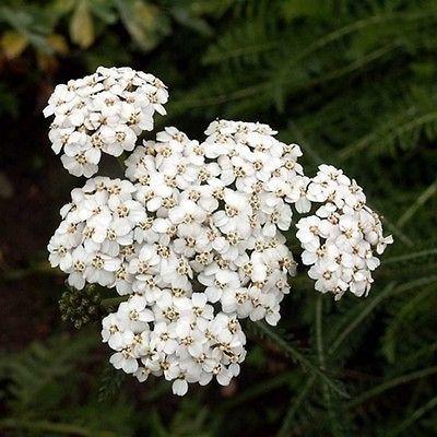 200 White Yarrow Flower Seeds Under The Sun Seeds Pinteres