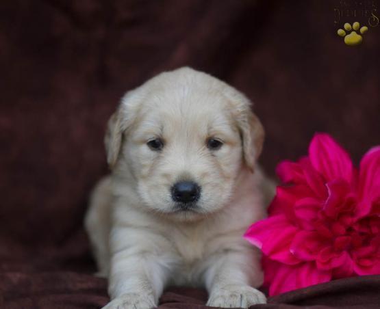 Courtney Golden Retriever Puppy For Sale In Mifflintown Pa