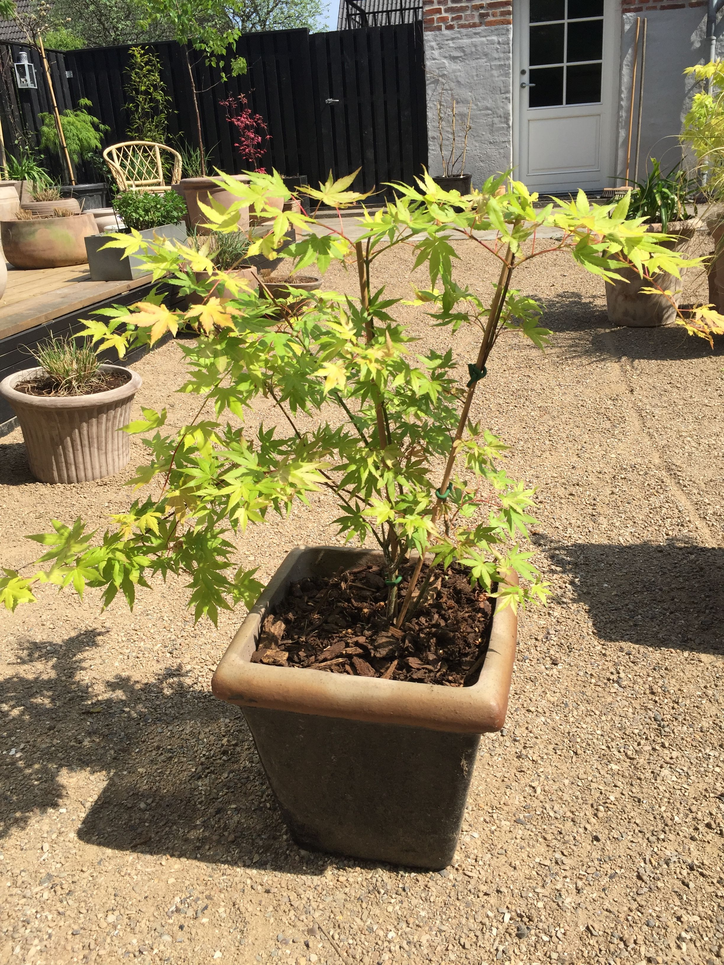 Acer Palmatum Summer Gold Orange Yellow In Spring Changing To
