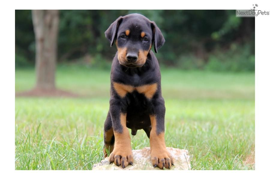 Image Result For Cute Dovelman Doberman Pinscher Dog Doberman