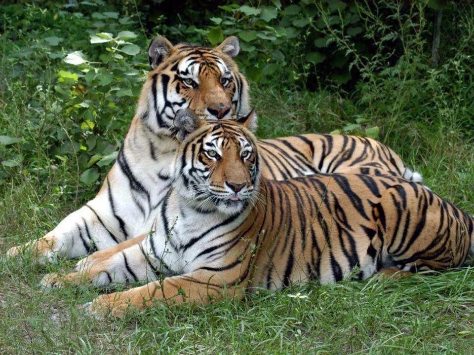 tigers Small wild cats, Big cat rescue, Big cats