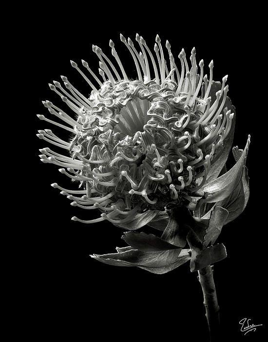 Pincushion Protea In Black And White White Flower Photos Black White Black White Photography
