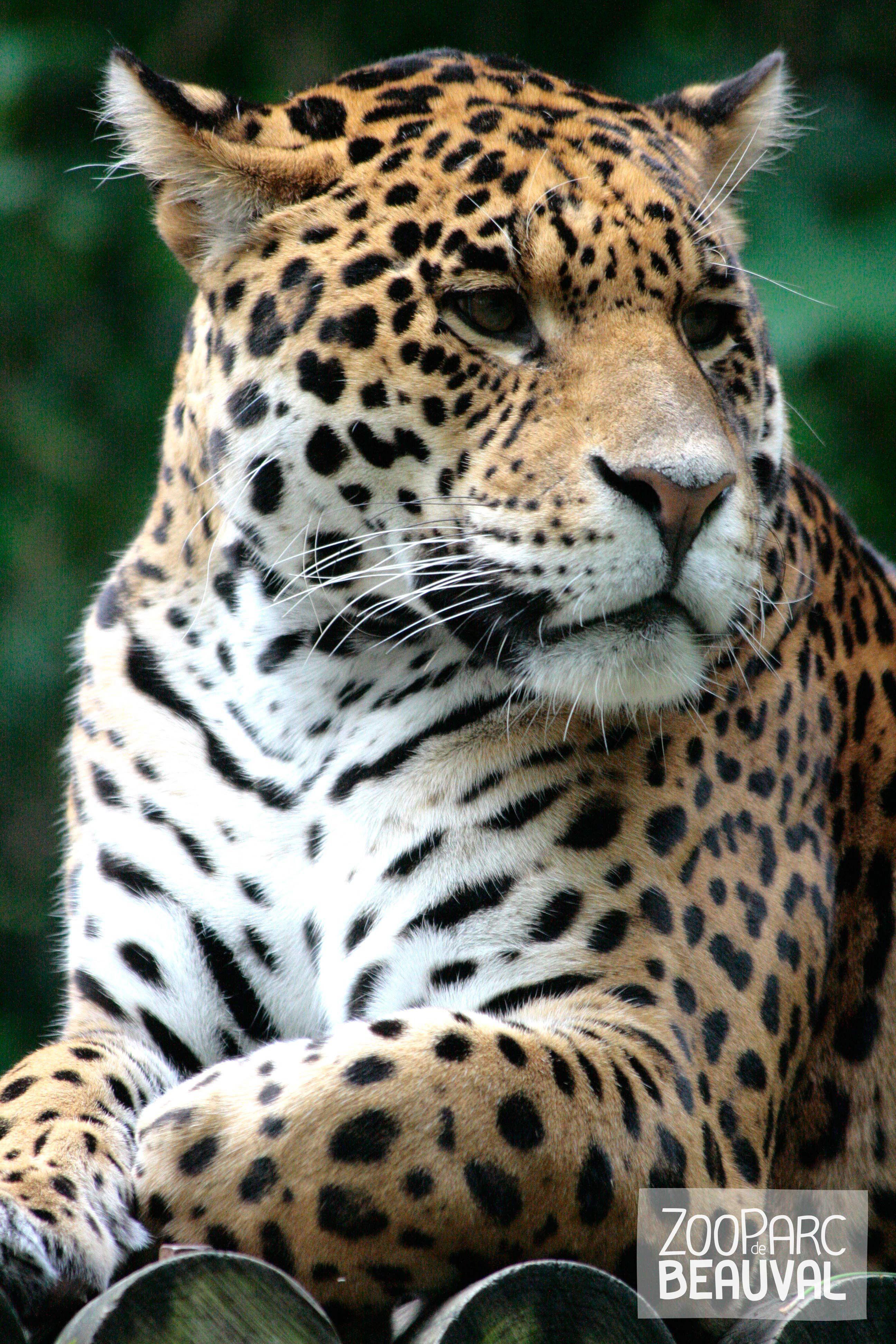 Le jaguar, présenté à Beauval, est souvent confondu avec la panthère, mais ces deux espèces sont originaires de continents différents. L'Amérique du Sud pour le jaguar, l'Afrique et l'Asie pour la panthère.