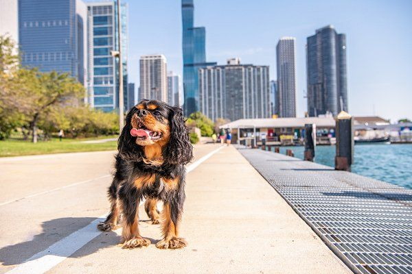 Cavalier King Charles Dog in Chicago Digital Download. #ChicagoLife #PetPortrat #PetPhotography #DogPhotography #DogPortrait #Photography #FineArtPhotography #AnimalPhotography #CavalierKingCharlesSpaniel #KingCharlesSpaniel #CavalierKingCharles #Dogs #FunnyDogPictures #FunnyDogPictures #CuteDogs #CuteDogPictures #DogsOfPinterest #AdorableDogs #AdorableAnimals #Animals #ChicagoDogs #ChicagoPets #ChicagoSkyline #ChicagoLakefrontTrail
