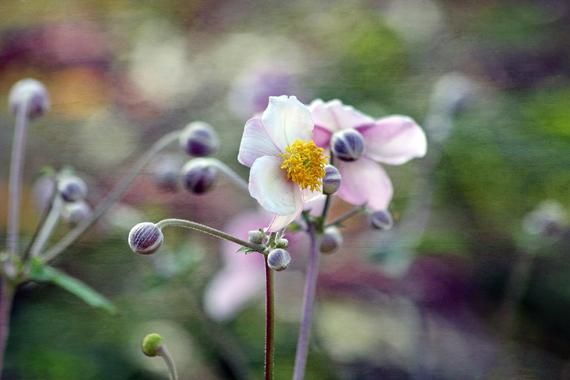 Japanese Anemone, Flower Macro Photography, Digital Download, Nature Lover, Screensaver, Printable A