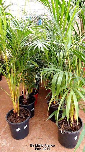 Areca Bambu Dypsis Lutescens Palmeira Areca Jardinagem