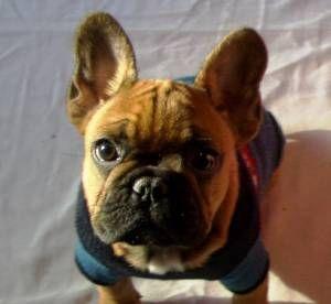 Picture of Hannibull Barka, a male French Bulldog