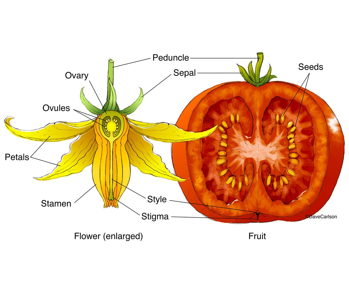 Tomato Flower Fruit Structure Photo Plant Science Life Science Botany
